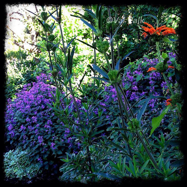 Garden Decor Cape Town: Ribbon Bush & Wild Dagga In My Garden Now. Photo By Val