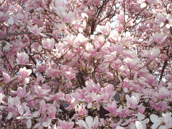 Pink and white flowering tree image collections flower decoration pink and white flowering tree images flower decoration ideas pink and white flowering tree images flower mightylinksfo