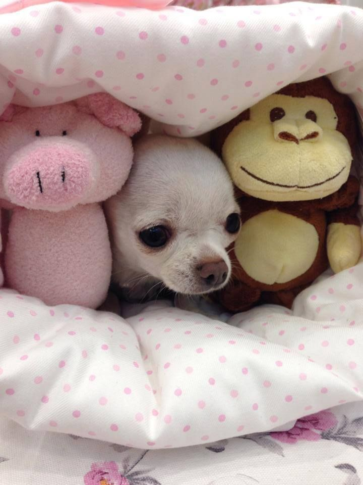 #Chihuahua_puppies_for_sale !! Caption this photo x