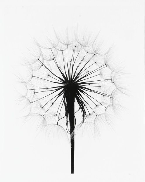dandelion coloring pages - photo#30