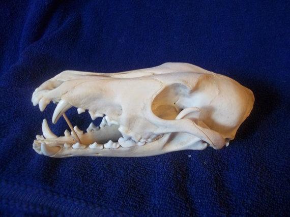 Coyote skull anatomy - photo#16