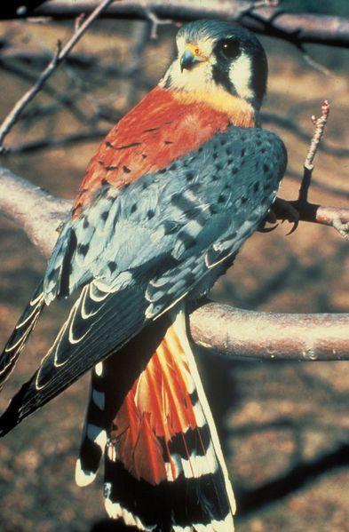 La crècerelle dAmérique (Falco sparverius) est un rapace diurne appartenant à lordre des Ciconiiformes (ou Falconiformes suivant les classifications), à la famille des falconidés (Falconidae), à la sous famille des falconinés (Falconinae), à la tribu des Falconini et au genre faucon (Falco).