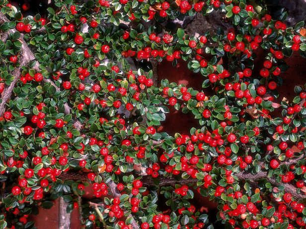 Cotoneaster dammeri is a fast growing creeping shrub and an excellent groundcover for for A gardener is planting two types of trees