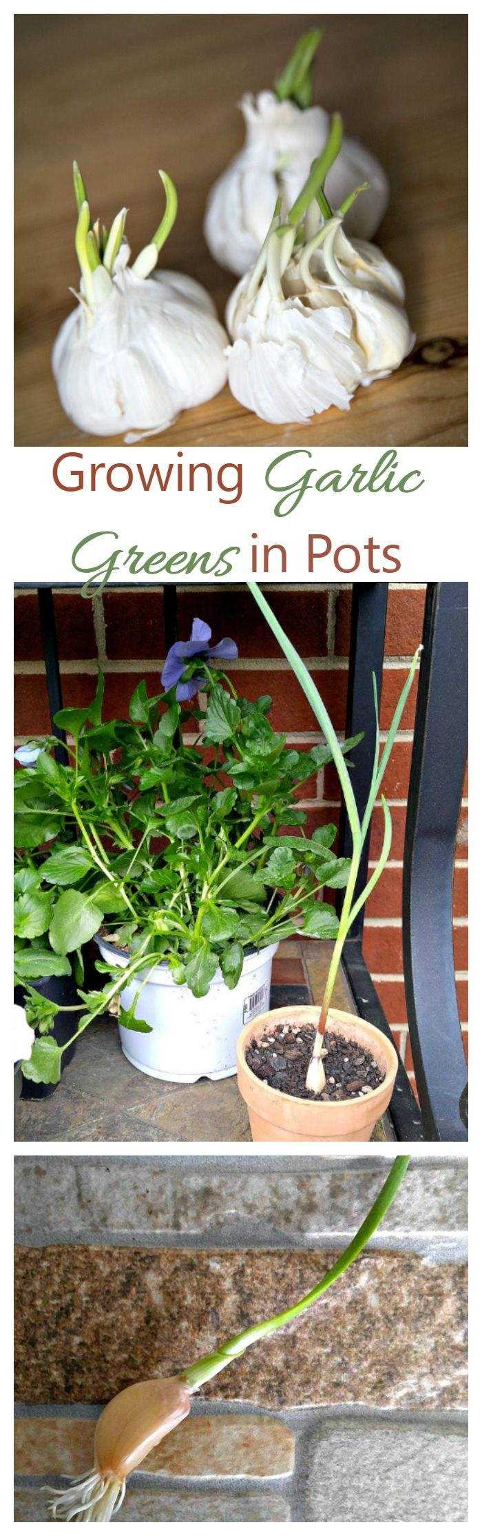 Don't toss that sprouted garlic! Growing garlic greens in pots is very easy to do. I started with a piece of sprouted garlic and have a foot tall plant a month later.