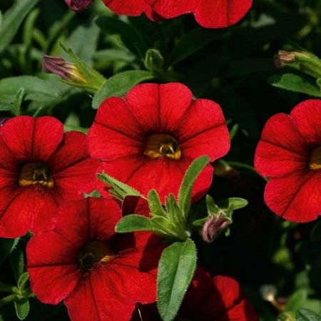 Vampire calibrochoa: Vampires Red, Vampires Calibrochoa, Musk Gardens, Google Search, Calibrachoa Superbel, Living Things, Gorgeous Living, Simply Red, Gardens 2014