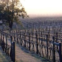 Frosty Vineyard at Glenguin, Broke, Hunter Valley, NSW