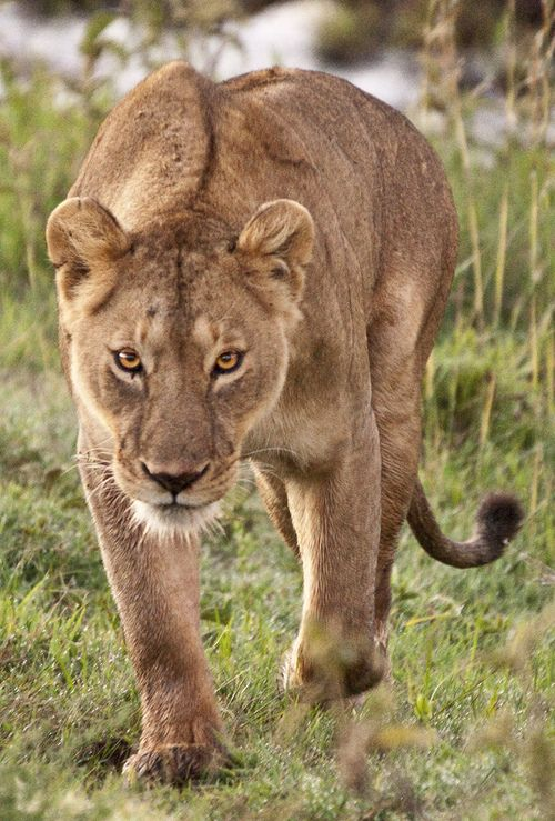 Wild Lioness on the prowl