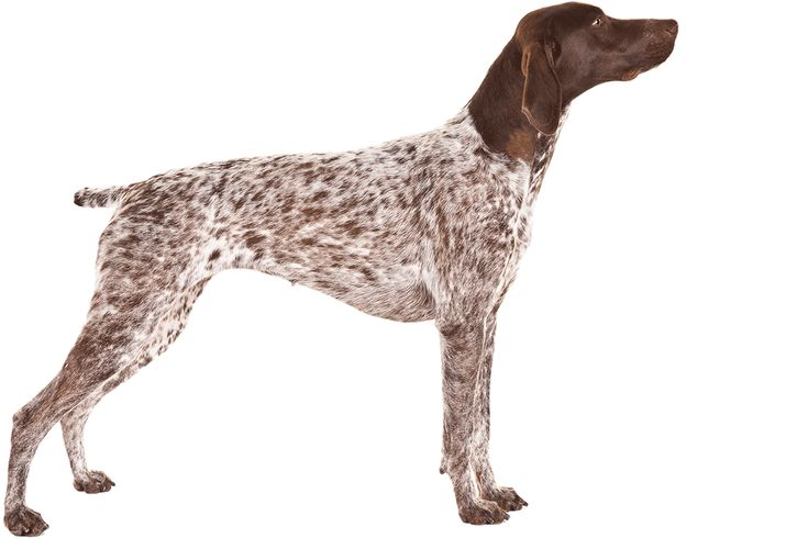 A German Shorthaired Pointer.