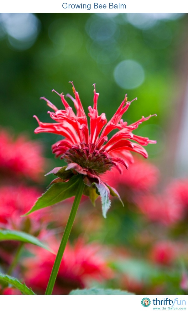 This guide is about growing bee balm. A wonderful flower for attracting hummingbirds to your garden.