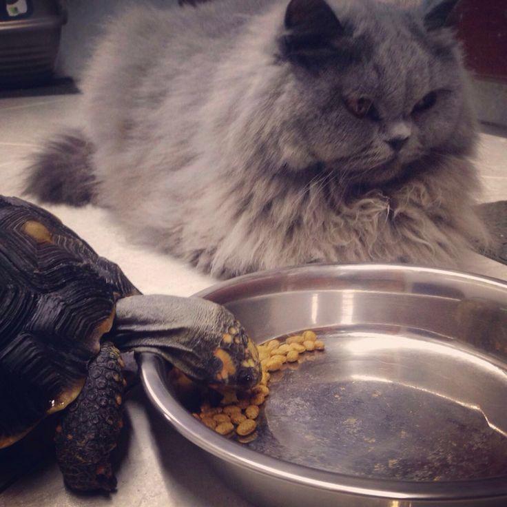 Leticia creyéndose una gata mas y tratando de quitarle la comida a Lucrecia #turtle #tortuga #tortoise #animal #pet #mascota
