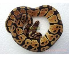 Savera Reptil #ayopromosi