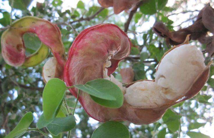 Guamuchil . Nativo de México