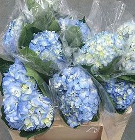 Colombia Hydrangeas sold in bunches of 10 stems from the Flowermonger the wholesale floral home delivery service.
