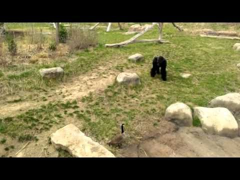 Brave Goose Chases Away Gorilla : Video Clips From The Coolest One