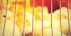 Cómo criar pollos en casa
