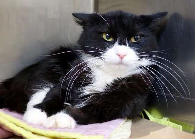 CONCHI - A1098004 - - Manhattan  Please Share:***TO BE DESTROYED 11/30/16***  FRIENDLY AND AFFECTIONATE – GOOD WITH KIDS AND DOGS – CONCHI IS NOW NEW HOPE RATED AFTER OWNER DUMPED FOR ALLERGIES!  -  Click for info & Current Status: http://nyccats.urgentpodr.org/conchi-a1098004/