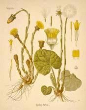 The botanical name, Tussilago, signifies 'cough dispeller,' and Coltsfoot has justly been termed 'nature's best herb for the lungs and her most eminent thoracic.'
