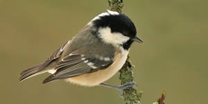 Coal tit on mossy twig