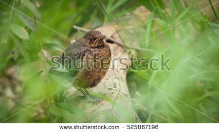 Female blackbird UK (Turdus merula), Song bird