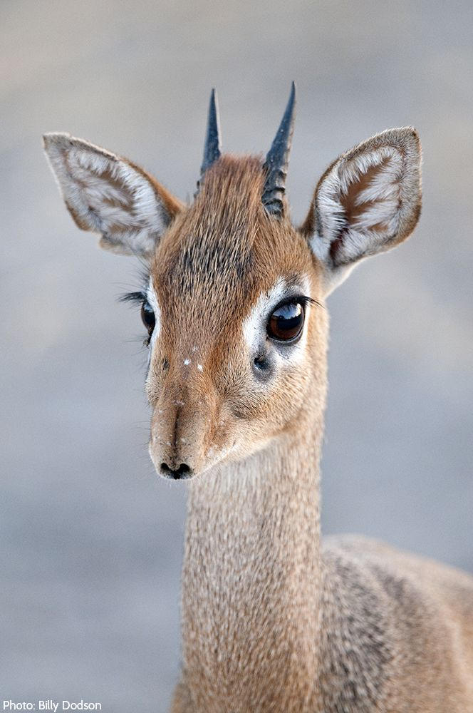 People are the dik-diks' biggest threat—they have long hunted them, setting snares along their paths. Small bones from their legs and feet are used in traditional jewelry. Their skins are often made into suede for gloves. But these small ungulates are far too cute for such a terrible fate!
