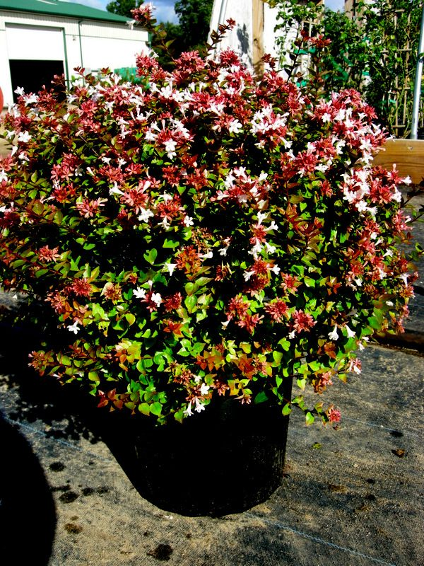 'Rose Creek' is a compact form of glossy abelia, great for smaller spaces and smaller gardens. Glossy evergreen foliage growing 2-3' tall and 3-4' wide. Part shade or sun in zones 5-9.