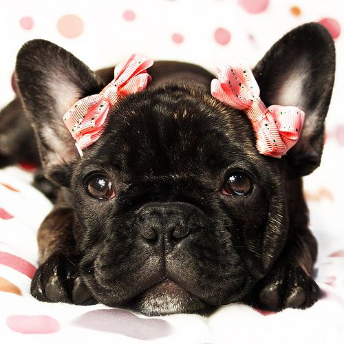 long haired french bulldog de 25 bedste id 233 er inden for long haired french bulldog 7942