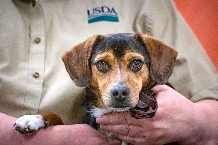 Meet The Beagle Brigade Usda S Detector Dogs Beagle Dogs Dog