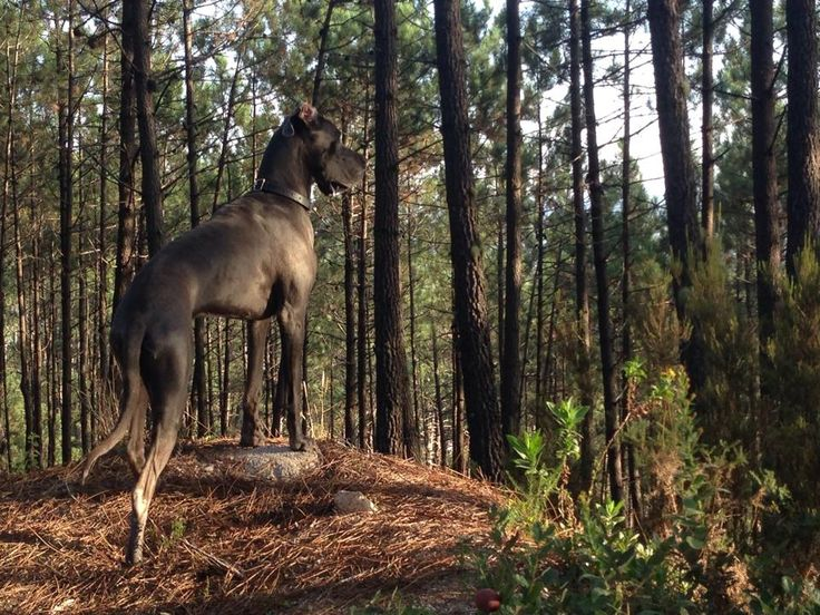 This is me pretending to be a deer in the Sintra, Portugal forests! #greatdane