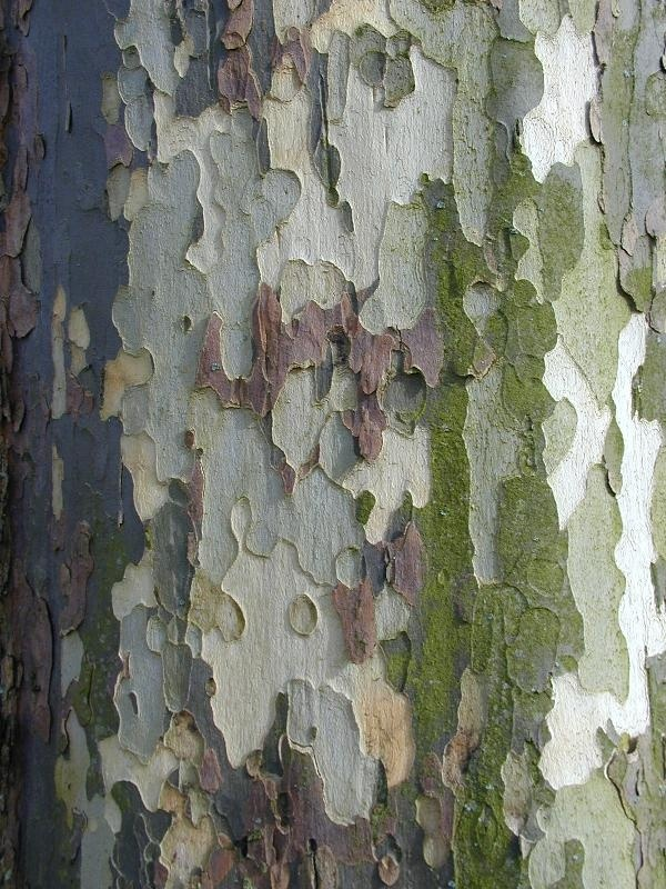 Beautiful texture/color of sycamore tree.  Native to Michigan