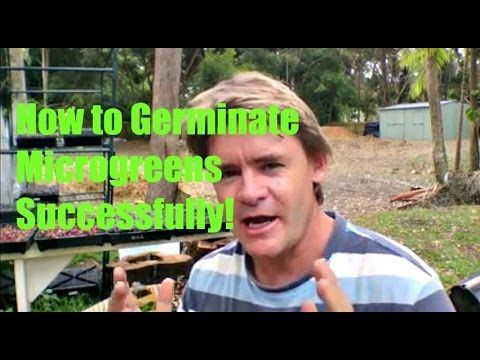How to Germinate Seedlings For Microgreens Successfully with Marty Ware http://goo.gl/MrW5V3 Yes, I have been growing Microgreens for the market for over 3 m...