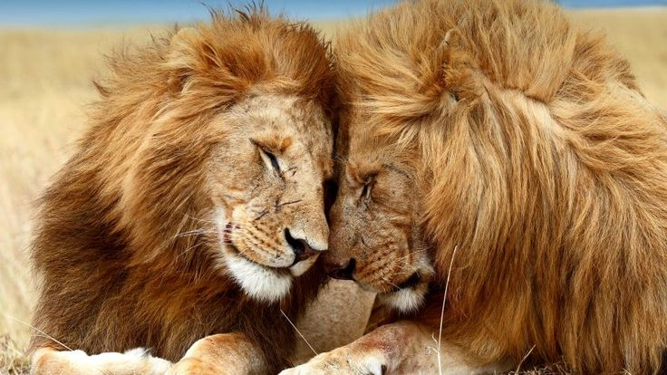 Lion Facts and Information about Lions