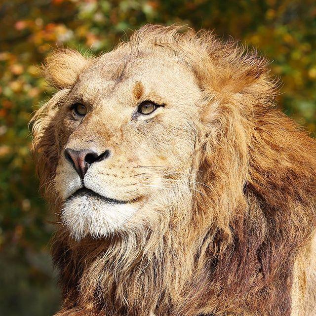 fuji_safari 微笑むライオン。 This male lion looks like he is smiling. #富士サファリパーク #ライオン #百獣の王 #紅葉と動物 #動物 #fujisafaripark #lion #kingofbeasts #autumnleaves #animal #wildlife 富士サファリパーク 2017/11/22 16:49:46