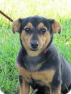 Germantown, MD - Dachshund/Miniature Pinscher Mix. Meet Chic, a puppy for adoption. http://www.adoptapet.com/pet/18191747-germantown-maryland-dachshund-mix