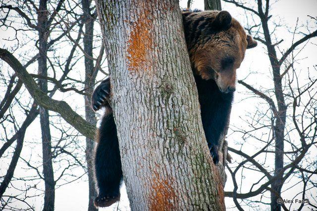 La rezervația de urși din Zărnești, un urs ne privește liniștit, de sus, dintr-un copac.