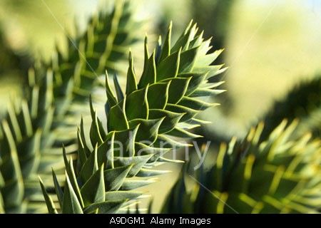 Download this stock image: Monkey Puzzle Tree Araucaria araucana - A9DGM1 from Alamy's library of millions of high resolution stock photos, Stock Photo, illustrations and vectors.