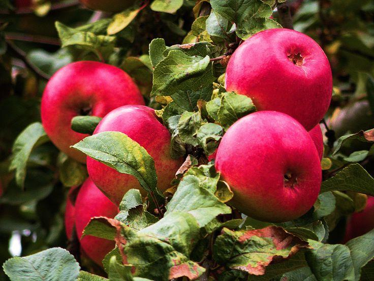 "Nine shots of autumn... photo no.4 ""Apples"""
