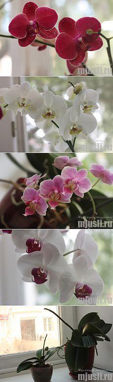 Орхидеи Фаленопсис: размножение и уход в домашних условиях