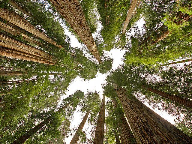Coast Redwood (Sequoia sempervirens), Prairie Creek Redwoods State Park Humboldt County, CA, USA