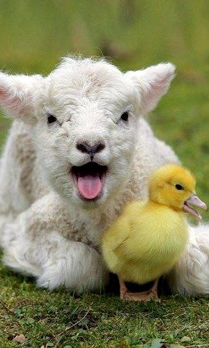 They must be a noisy couple! A lamb and duckling mid-song...