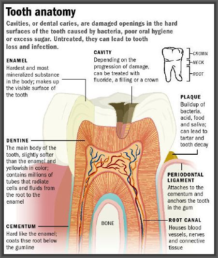 A diagram of your tooth and what you need to be aware of when it comes to avoiding decay and infection... #smiles #oralhealthmatters
