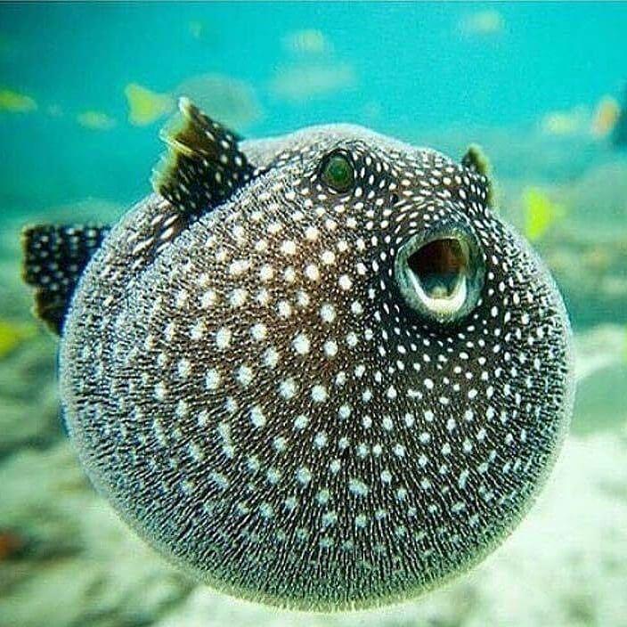 Poisonous Puffer Fish Beautiful Sea Creatures Marine Animals Ocean Creatures