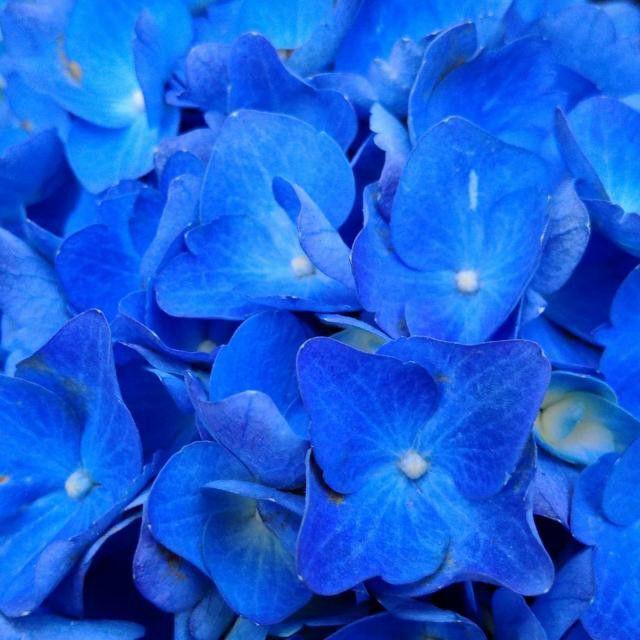 #hydrangea #blue #flower #summertime #VancouverBC #Blackberryphoto  Oh. So. Blue.