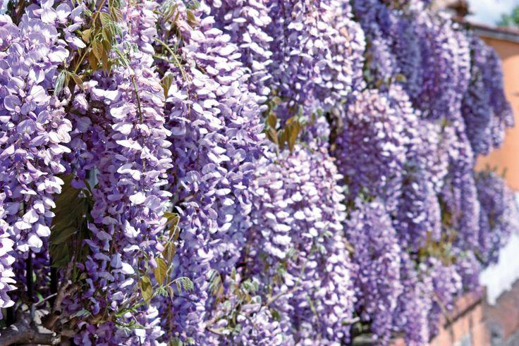 Der Blauregen ist eine robuste, stark wachsende Kletterpflanze. Er kann bis zu 30 Meter und höher wachsen