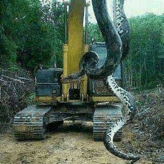 Worlds Largest Snake - 780lb Giant Snake Found in Florida | News-Hound