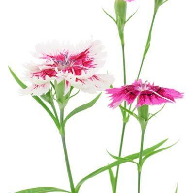 Nellik Såtid: Mai, Juni blomstringstid: Juli, Aug, Sept