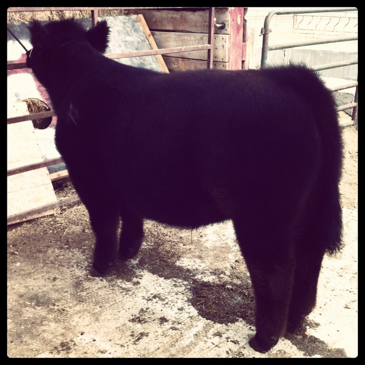 perfect show steer ,lots of hair ,square build want one like this next year
