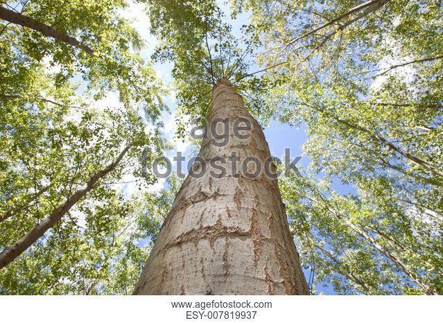 Young poplar forest on springtime, Valdelacalzada, Spain