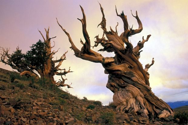 10 Greatest Trees in the World