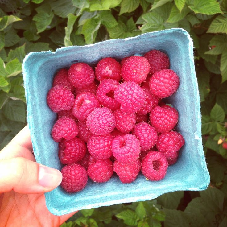 There's nothing better than fresh picked #raspberries in the summer. Best #PickYourOwn location is Alstede Farms in #NewJersey