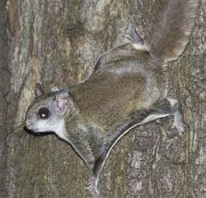 Southern Flying Squirrels - had 2 little girls for years!  So much fun!!!  Miss them....